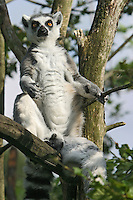 Germany, DEU, Muenster, 2004-Sep-15: A ring-tailed lemur (lemur catta) sunning itself on a tree in the Muenster zoo.