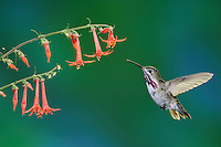 Calliope Hummingbird (Stellula calliope), male feeding on flower, New Mexico, USA
