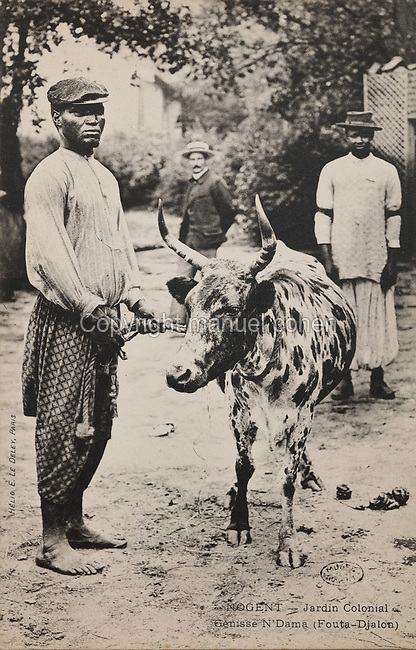 Genisse N'Dama with a cow, from Fouta-Djalon, Guinea, West Africa, at the Colonial Exhibition of 1907, held in the Jardin d'Agronomie Tropicale, or Garden of Tropical Agronomy, in the Bois de Vincennes in the 12th arrondissement of Paris, postcard from the nearby Musee de Nogent sur Marne, France. The garden was first established in 1899 to conduct agronomical experiments on plants of French colonies. In 1907 it was the site of the Colonial Exhibition and many pavilions were built or relocated here. The garden has since become neglected and many structures overgrown, damaged or destroyed, with most of the tropical vegetation disappeared. The site is listed as a historic monument. Picture by Manuel Cohen / Musee de Nogent sur Marne