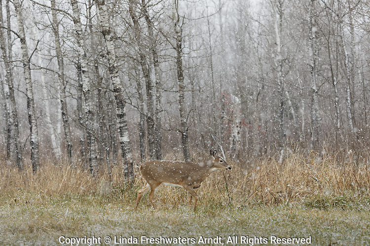 White-tailed doe walking in a northern Wisconsin field during a November snowstorm.
