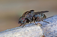 Schilfgallenfliege, Schilfgallen-Fliege, Schilffliege, Halmfliege, Lipara lucens, frit fly, grass fly, Halmfliegen, Chloropidae, frit flies, grass flies