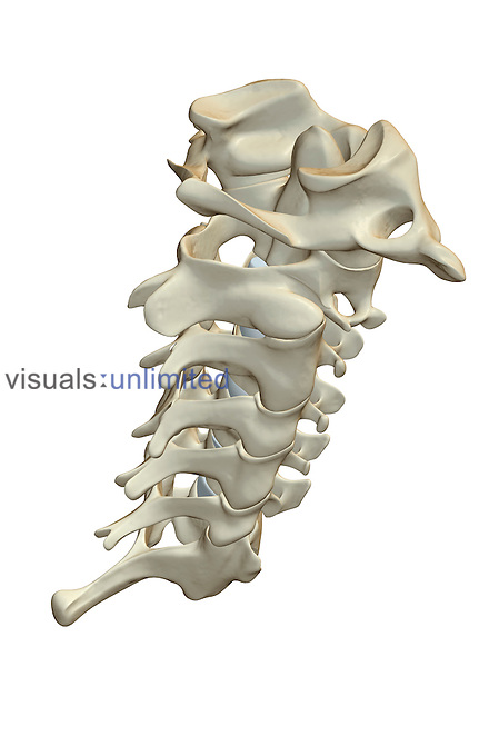 A superior posterolateral view (right side) of the cervical vertebrae. Royalty Free