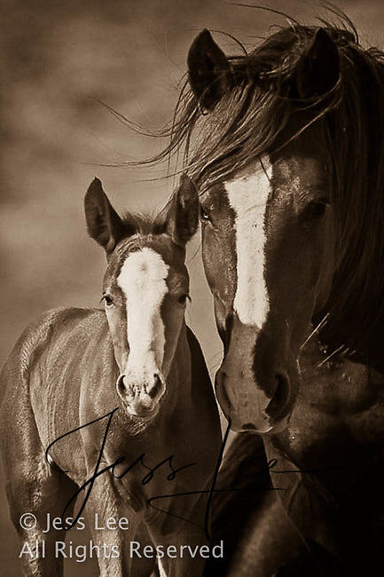 Mare and foal,fighting MustangsMcCullough Peaks Mustangs Wild Horse Photography by western photographer Jess Lee. Pictures of mustangs in the West. Fine art images,Prints,photos Wild horse photo,wildhorses in the american west,