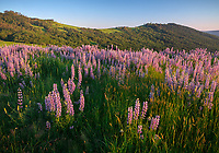 Redwoods National Park, California:<br /> Riverbank lupine (lupinus rivularis)  in evening light on the Bald Hills road