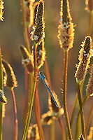 Blue damsel fly on plantain stalk in evening light in Multnomah County, Oregon
