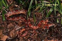 1R22-560z  Corn Snake, Banded Corn Snake, Elaphe guttata guttata or Pantherophis guttata guttata