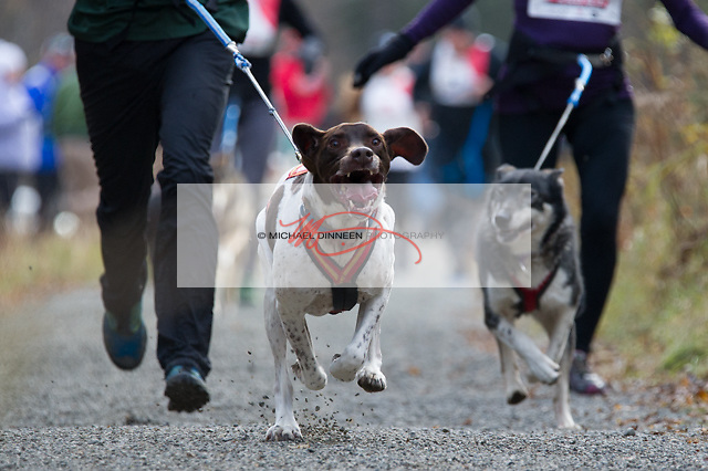 John Cosgrave runs Nikko, a friend's dog, in the CanaCross event.