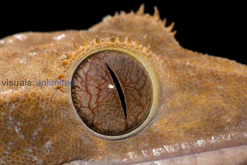 Crested Gecko (Rhacodactylus ciliatus), native to New Caledonia.