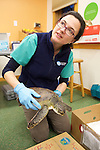 Veterinarian Kathryn Tuxbury With Injured Green Sea Turtle, Welfleet Bay Wildlife Sanctuary / NE Aquarium, Audubon