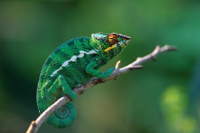 MADAGASCAR, MANDRAKA, PANTHER CHAMELEON, MALE (Furcifer pardalis)