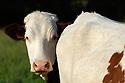 24/05/06 - MONDEVIOLLE - PUY DE DOME - FRANCE - Elevage laitier. Vaches Montbeliardes - Photo Jerome CHABANNE