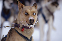 Close up of Charlie Boulding's Dog at Tanana