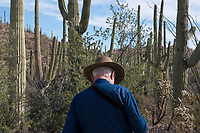 A tourist stands near saguaro cactus and other vegetation in the hills of Saguaro National Park West (Tucson Mountain District) near Tucson, Arizona, USA.