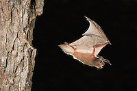 Evening Bat, Nycticeius humeralis, adult in flight leaving Day roost in tree hole,Willacy County, Rio Grande Valley, Texas, USA, June 2006