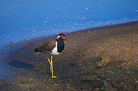 Red-watttled Lapwing (Vanellus indicus)Yala National Park, Wildlife