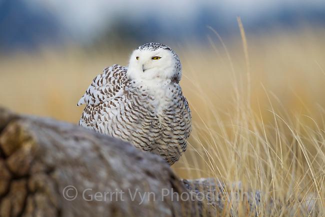 Snowy Owl (Bubo scandiacus) perched on coastal driftwood. Grays Harbor County, Washington. December.