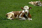 Calf lying down in meadow. Imst, Austria.