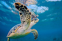 A hawksbill turtle, Eretmochelys imbricata, surfaces for a breath off the island of Bonaire, the Netherlands Antilles, Caribbean.
