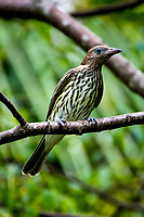 Australasian figbird (Sphecotheres vieilloti), also known as the green figbird, is a conspicuous, medium-sized passerine bird native to a wide range of wooded habitats in northern and eastern Australia, southern New Guinea, and the Kai Islands.