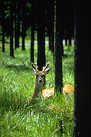 White-tailed deer buck sitting in the grass in the forest in Glacier National Park. Montana, Glacier National Park.