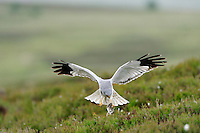 HEN HARRIER Circus cyaneus Wingspan 100-120cm. Britain's most familiar harrier, usually seen gliding at slow speed, low over the ground. Adult male has pale blue-grey plumage except for white belly, white rump and black wingtips. Adult female is brown with darker barring on wings and tail, streaking on body underparts, and a narrow white rump. Juvenile is similar to adult female but breast and wing coverts are brighter. Voice – mainly silent. Status and habitat – Breeds on upland moorland, winters on lowland heaths and near coasts.
