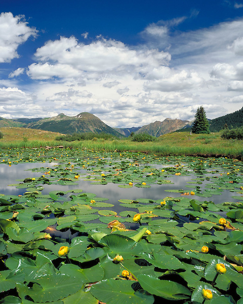 Water lilies in pond at Molas Pass in the San Juan Mountains, Silverton, Colorado, USA. .  John leads wildflower photo tours into American Basin and throughout Colorado. All-year long.