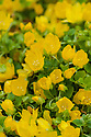 Creeping Jenny (Lysimachia nummularia), mid June. Other common names include moneywort, herb twopence and twopenny grass.