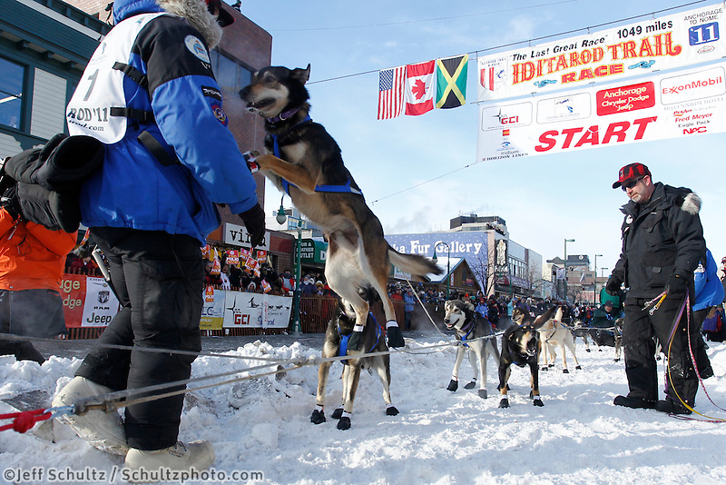 Martin Buser dogs lunge to go at the starting line on 4th avenue in downtown Anchorage, Alaska during the ceremonial start of the 2011 Iditarod