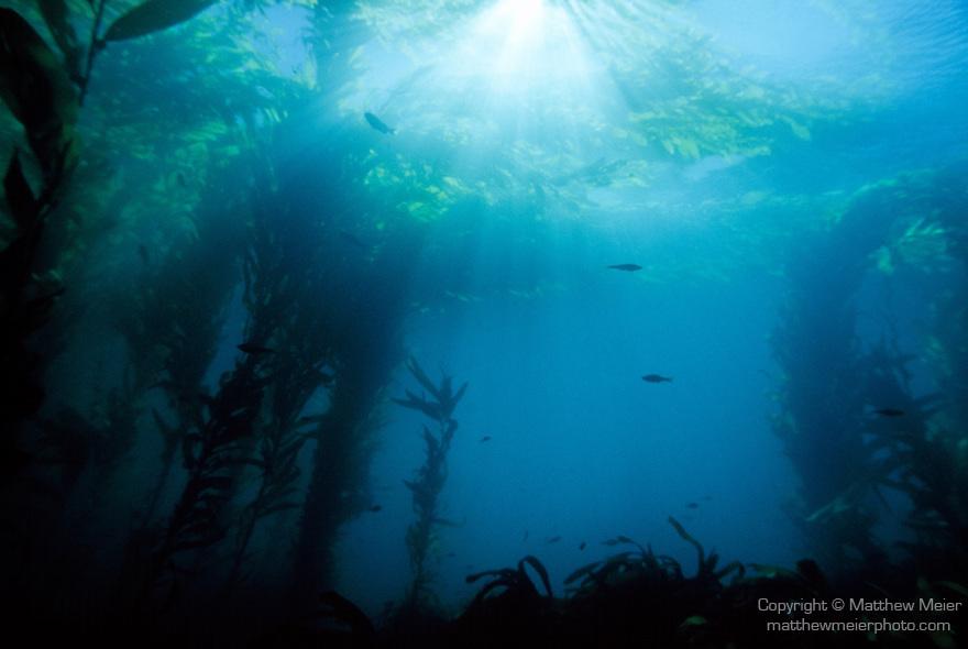 Santa Cruz Island, Channel Islands National Park & National Marine Sanctuary, California; sun rays falling on a forest of Giant Kelp (Macrocystis pyrifera)
