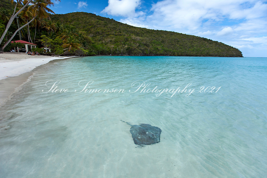 Southern Stingray in the shallows<br />