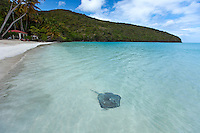 Southern Stingray in the shallows<br /> Maho Bay, St. John<br /> Virgin Islands National Park