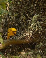 Golden Bower Bird,<br /> Wet Tropics WHA,<br /> FNQ