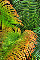 Close-up of 'ama'u ferns taken at Hawai'i Volcanoes National Park, Big Island of Hawai'i.