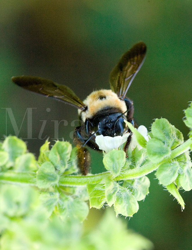 Bumble Bee eating nectar from Basil Flower