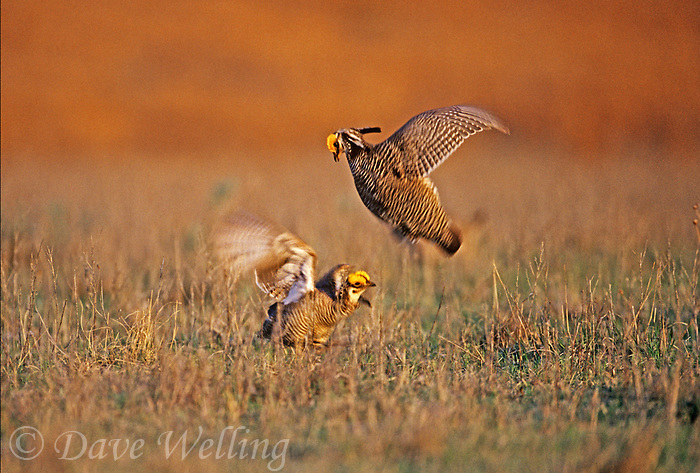 572110127 a pair of wild male endangered lesser prairie chickens tympanuchus pallidicintus battle for females on a remote lek on a ranch in the texas panhandle near canadian texas