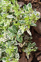 Euonymus fortunei Harlequin