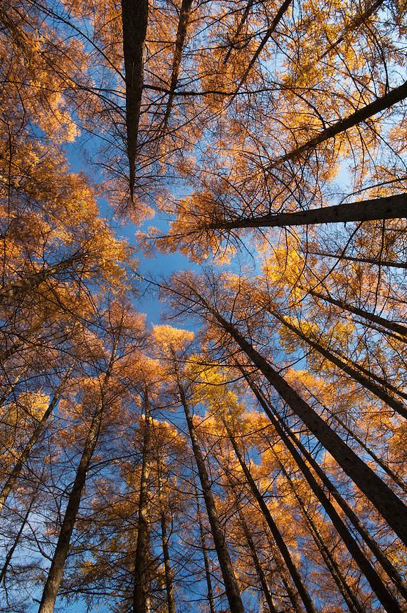 Looking up into a stand of karamatsu (Japanese larch) on a bright autumn morning, Matsumoto, Nagano, Japan.
