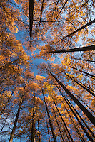 Looking up into a stand of karamatsu (Japanese larch) on a bright autumn morning, Matsumoto, Nagano, Japan.