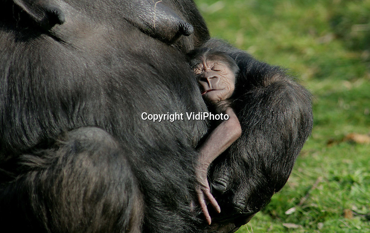 Foto: VidiPhoto..APELDOORN - In de Apenheul in Apeldoorn is maandag een gorillajong geboren. Het piepjonge diertje was dinsdag pas goed voor het publiek te zien. Het geslacht is nog niet bekend. Moeder is Mandji, met haar 32 jaar een ervaren moeder. De kleine is haar achtste nakomeling. Voor de kersverse vader Jambo (13 jaar) ligt dat anders: hij is pas sinds een jaar in Apenheul en is nu voor het eerst vader! Jambo is de opvolger van de twee jaar geleden overleden beroemde gorilla-man Bongo.