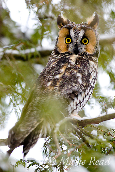 Long-eared Owl (Asio otus) roosting in cedar, Amherst Island, Ontario, Canada