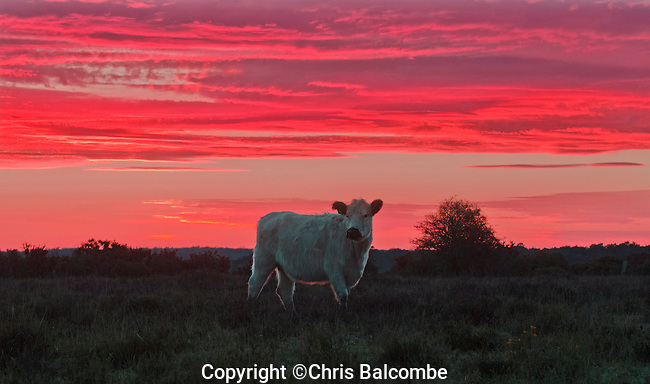 Heatwave continues into Sunday:  As the sun set over Hampshire's New Forest National Park yesterday Saturday, this cow was enjoying the grass, which is unusually lush this year, after the weeks of rain.<br /> Forecasters predicted today's temperatures may rise into the twenties across much of the UK, as Britain basks in warm sunshine.<br /> <br /> Pic: Chris Balcombe<br /> <br /> 07568 098176<br /> Office: 023 80 849187