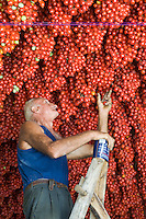 Italian farmer Ponsiello Giovanni standing on a ladder checking his harvest of pomodorino piennolo del Vesuvio tomatoes hanging from the ceiling