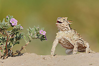 Texas Horned Lizard (Phrynosoma cornutum), adult standing up, Laredo, Webb County, South Texas, USA