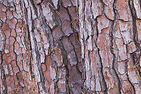 Shortleaf Pine (Pinus echinata) & Longleaf Pine (Pinus palustris), Raven Rock State Park, Lillington, North Carolina, USA