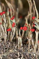 Rotfrüchtige Säulenflechte, Rotfrüchtige Säulen-Flechte auf Totholz, Strauchflechte, Cladonia macilenta ssp. macilenta, Cladonia bacillaris, Lipstick cladonia, cup lichen