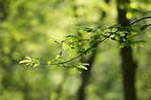 Hazel - Corylus avellana, spring leaf burst, Stoke Woods, Bicester, Oxfordshire owned by the Woodland Trust