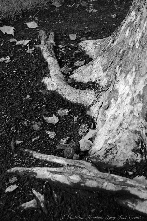 Bare roots of a tree in Pioneer Park, Puyallup, Washington, USA.
