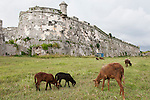 Havana, Cuba; goats graze in the grass of the moat surrounding the Fortaleza de San Carlos de la Cabana