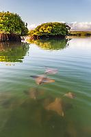 Golden rays swim in protected water of a mangrove forestSanta Cruz Island, Galapagos Islands, Ecuador.