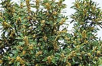 Lorbeerbaum, Lorbeer-Baum, Lorbeer, Lorbeerblatt, Lorbeerblätter, blühend, Laurus nobilis, Bay Tree, Sweet Bay